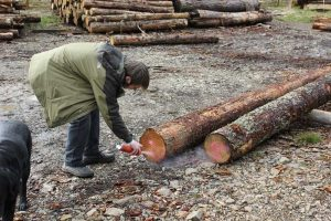 Iain Thew officially certifies some round pole larch with a pink spray can